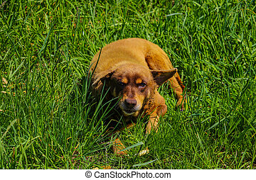 An old ginger stray dog lies in the green grass.