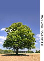 An old oak tree