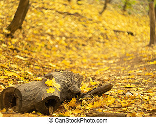 An old stub laying on the ground of autumn forest, close up view. Yellow leaves in wood. Nature landscape. Yellow foliage on the ground in October forest. Blurred background. Selective soft focus.