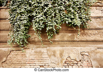 An old town wall covered with greenery aging from time