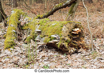 an old tree covered with lichen, the trunk of a fallen tree in the moss