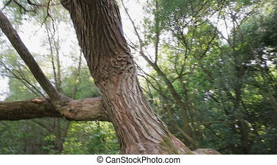 An old tree with an unusual trunk, mutation, willow