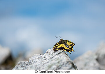 An Old World swallowtail butterfly resting on a stone