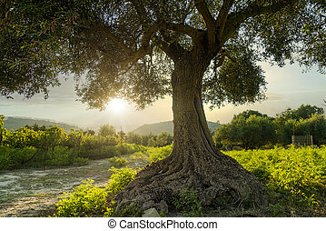 an olive tree taken at sunset in greece