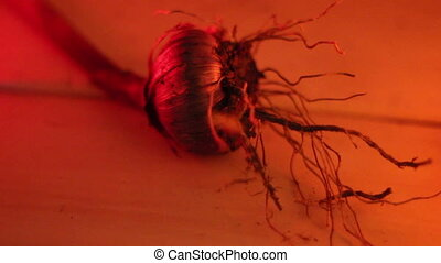 An onion with its roots - An onion bulb with its roots under...