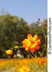 an orange cosmos flower