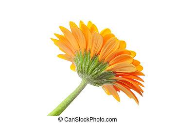 an orange gerbera flower isolated on white