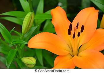 An orange lilly - A close up orange lilly