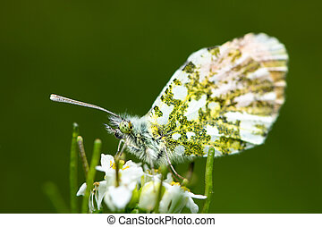 An Orange Tip butterfly sitting on a flower