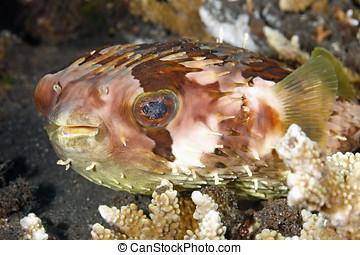 Orbicular Burrfish - An Orbicular Burrfish, also known as a...