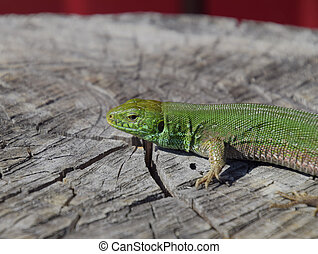 An ordinary quick green lizard. Lizard on the cut of a tree...