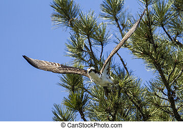 An osprey soars off from a tree.