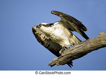 An Osprey taking off