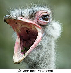 an ostrich with its beak wide open (Struthio camelus)