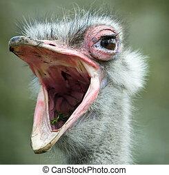 ostrich - an ostrich with its beak wide open (Struthio ...