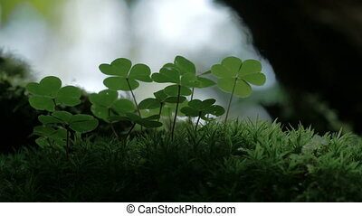 An Oxalis acestosella plant on a mystic forest - An Oxalis...