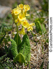 An oxlip in the eastern austrian alps
