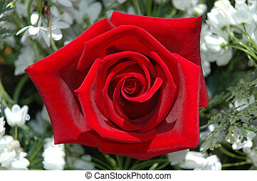 red rose - an red rose in gardem
