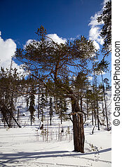 An unusual pine tree in winter forest