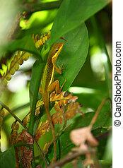 Upland Grass Anole (Anolis krugi)