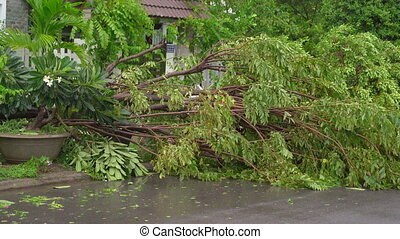 An uprooted tree in a residential area after a tropical storm. Climate change concept.