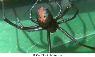 An upside down redback spider on a lawnchair - Close up of...