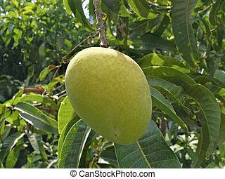 anacardiaceae,  indica, mangue,  l, arbre,  alphonso, pendre,  mangifera