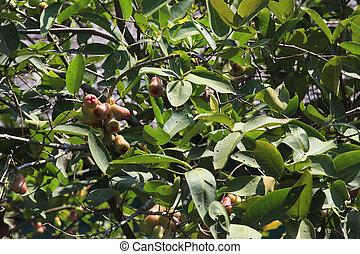 anacardo, árbol
