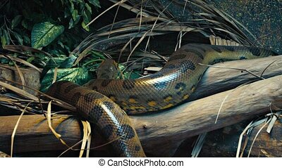 Anaconda Slithering along a Branch in a Zoo - Lone anaconda,...