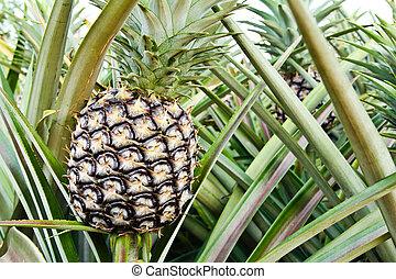 pflanze ananas ghana ackerland west afrika ananas wachsen. Black Bedroom Furniture Sets. Home Design Ideas