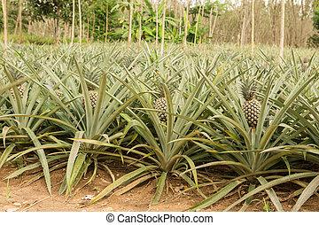 bauernhof tropische frucht ananas wachsen pflanze. Black Bedroom Furniture Sets. Home Design Ideas