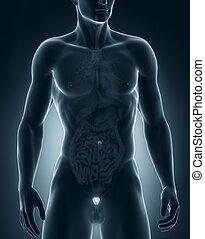 anatómia, előbbi, hím, prosztata, kilátás