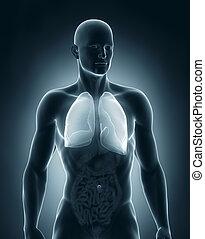anatómia, előbbi, hím, tüdő, kilátás
