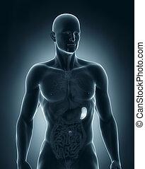 anatómia, előbbi, lép, hím, kilátás