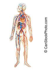 anatómia, emberi, man.
