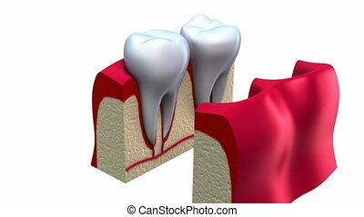 anatómia, közül, egészséges fogazat, alatt, részletek