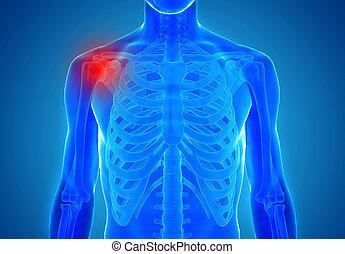 anatómia, közül, emberi, eresztékek, -, kár, fogalom
