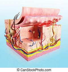 anatómia, réteg, emberi bőr
