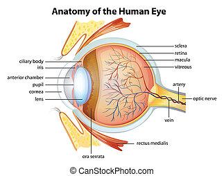 anatómia, szem, emberi