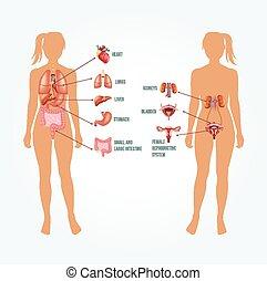 anatómia, vektor, ábra