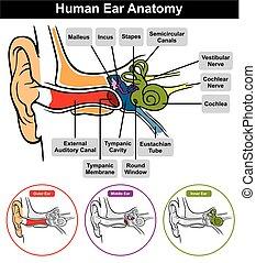 anatómia, vektor, emberi fül