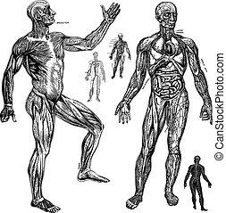 anatómico, vector, gráficos