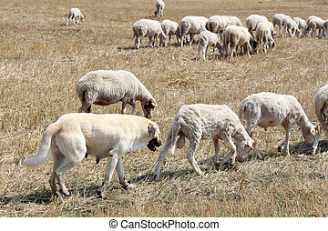 Anatolian sheep dog
