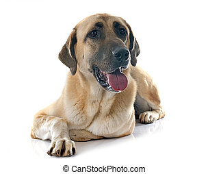 Anatolian Shepherd dog in front of white background