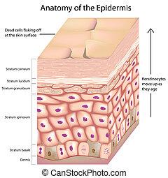 anatomía, 3d, epidermis