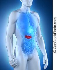anatomía,  anterior, macho,  páncreas, vista