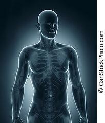 anatomía, anterior, macho, vista