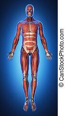 anatomía, anterior, sistema, muscular, vista
