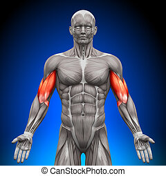 anatomía, bíceps, músculos, -