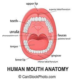 anatomía, boca, humano